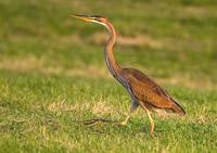 Vogelexcursie-De-Wetering-Purperreiger