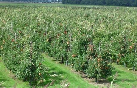 Fruitteelt tussen Buurmalsen en Buren