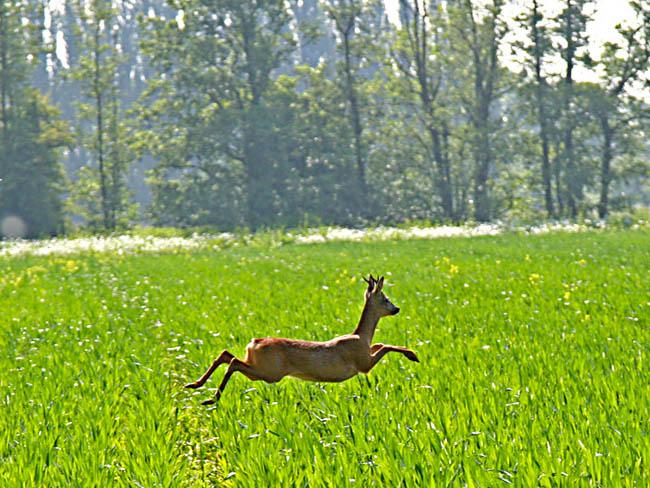 Springend Ree in de Lingestreek
